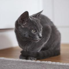 animal(1.0), kitten(1.0), british shorthair(1.0), small to medium-sized cats(1.0), pet(1.0), black cat(1.0), fauna(1.0), chartreux(1.0), close-up(1.0), cat(1.0), korat(1.0), burmese(1.0), carnivoran(1.0), whiskers(1.0), black(1.0), russian blue(1.0), domestic short-haired cat(1.0),