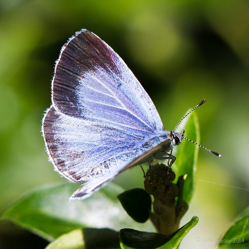 Silver-studdied Blue Butterfly