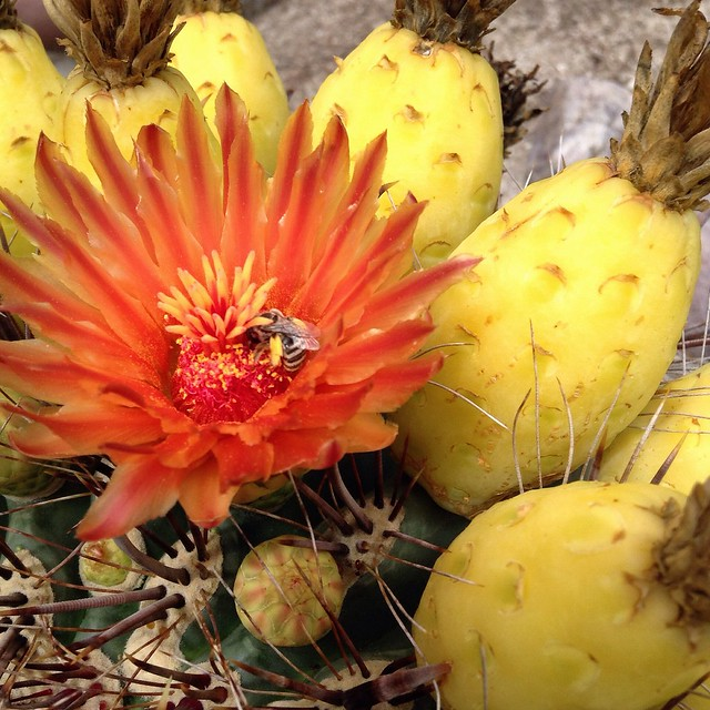 The monsoons have caused the cactus flowers to bloom again.