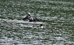 Pacific Loons W 5697