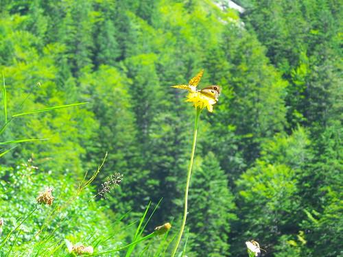 Due farfalle su un tarassaco by Ylbert Durishti
