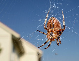 Kreuzspinne big spider