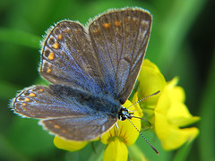 Common Blue Female Feeding