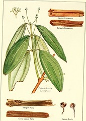"""Image from page 11 of """"Spices, their nature and growth, the vanilla bean, a talk on tea"""" (1915)"""