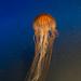 Jellyfish by fiatlux