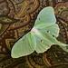 Luna Moth - 2014