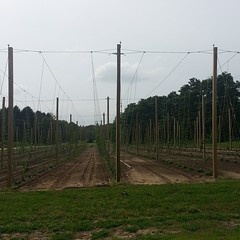 Ever see hops growing? :)