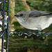 Small photo of American Bushtit