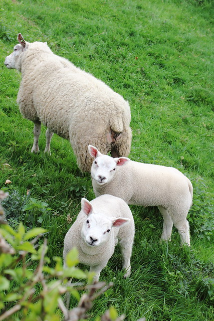 Lambs in Luxembourg