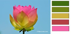flower(1.0), yellow(1.0), plant(1.0), sacred lotus(1.0), lotus(1.0), illustration(1.0), proteales(1.0), pink(1.0), petal(1.0), aquatic plant(1.0),