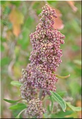 365 Days In Color-Organic Pink Quinoa (Variety-Red…