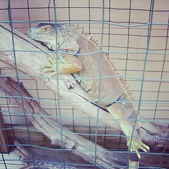My 18 year old iguana Buddie. We've had her since she was a year old. #reptile #iguana #pets #instapets