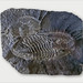 Trilobites (musée de l'ardoise, Trélazé) ©dalbera