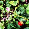 Late bloomer /  the strawberry garden / defiant   #autumn