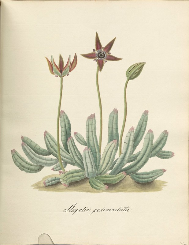 Francis Masson illustration of succulent plant
