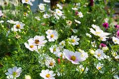 grass(0.0), marguerite daisy(0.0), chamaemelum nobile(0.0), daisy(0.0), oxeye daisy(0.0), lawn(0.0), daisy(0.0), annual plant(1.0), flower(1.0), garden(1.0), garden cosmos(1.0), plant(1.0), wildflower(1.0), flora(1.0), meadow(1.0), cosmos(1.0), petal(1.0),