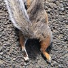 Squirrel 1/2