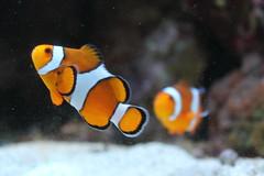 animal, anemone fish, fish, yellow, coral reef fish, marine biology, macro photography, close-up, underwater,