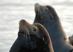 091008_california_sea lions_astoria_odfw