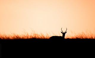 Silhouetted Stag // 21 09 14