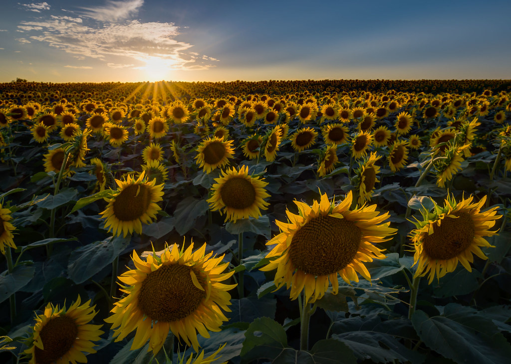 Sunflower Fields In Kansas