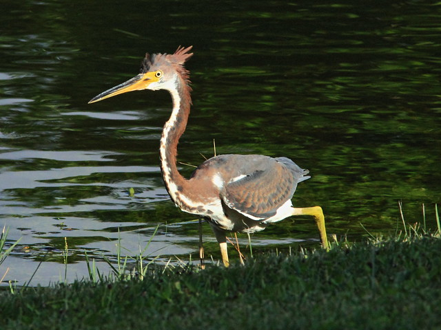 Tricolored Heron immature 3-20130912