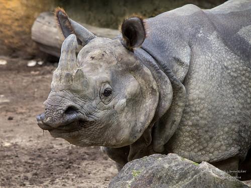 Heute ist Welt-Nashorn-Tag