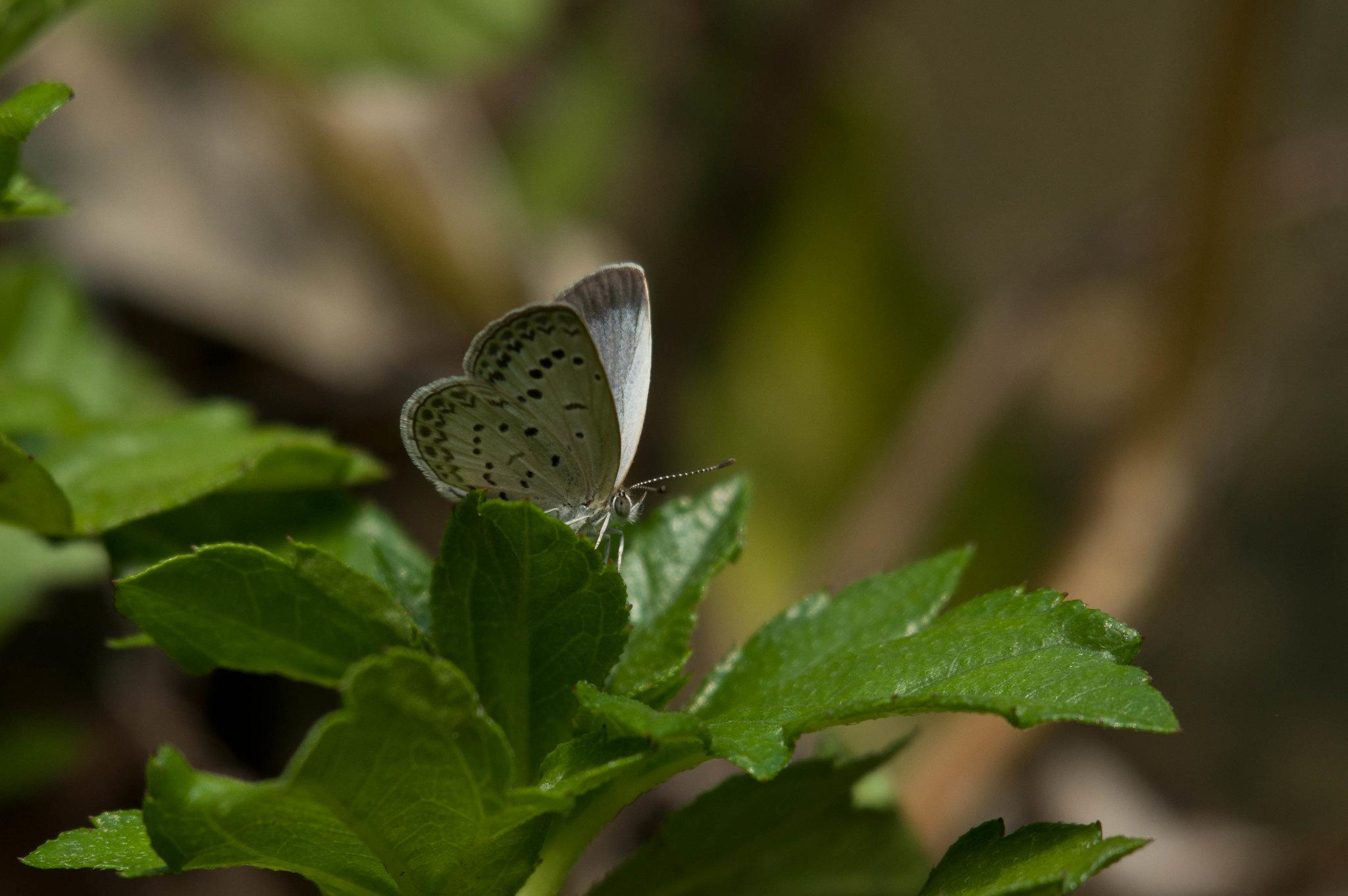 五中的沖繩小灰蝶