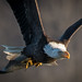 Bald Eagle by Vic Zigmont