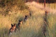wild dogs hunting down the fenceline