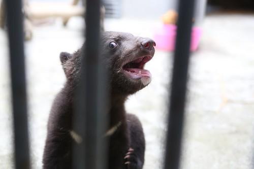 Smudge - the last cub born in Nanning Bear Farm