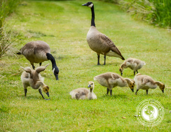 Canada Photo Essay - Canadian Geese and Chicks