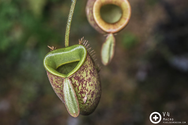 Flask-shaped pitcher plant (Nepenthes ampullaria)
