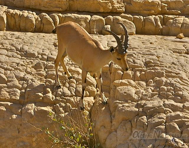 nubian ibex 0001 Nahal Arugot, Dead Sea, Israel