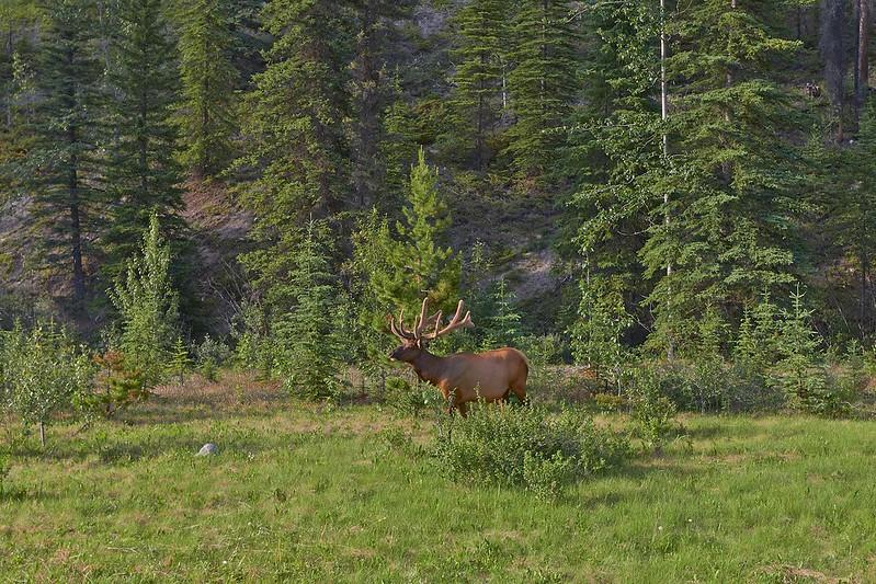 Elk - Jasper National Park