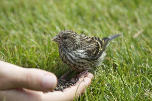 Feeding a Pine Siskin