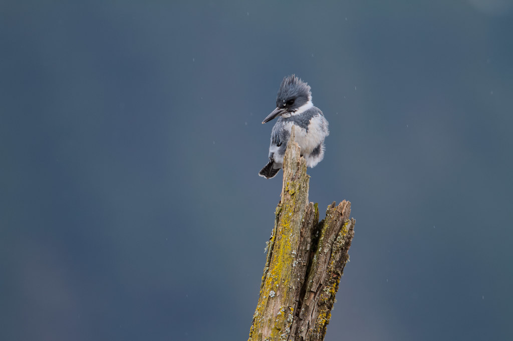 A male belted kingfisher perches on a snag above Long Lake on a rainy winter afternoon