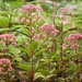 Joe Pye Weed In My Yard