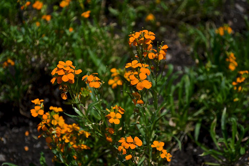 Siberian Wallflower