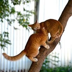 Наши рыжики! :) #kitten #cat #tree #котята #кошки #рыжий #амадей #красногорск