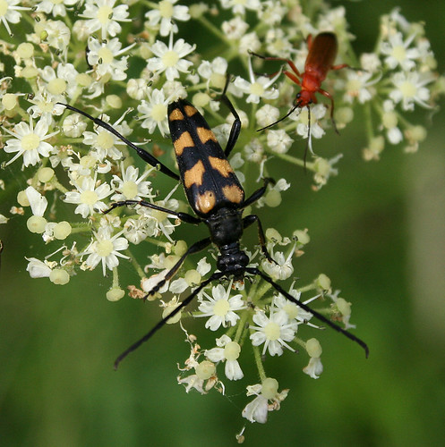 Four-banded Long-horn Beetle Leptura quadrifasciata Tophill Low NR, East Yorkshire