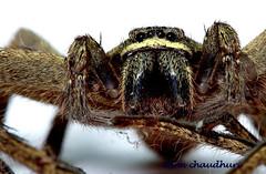 araneus(0.0), arthropod(1.0), animal(1.0), spider(1.0), invertebrate(1.0), insect(1.0), macro photography(1.0), fauna(1.0), close-up(1.0), tarantula(1.0), wolf spider(1.0),