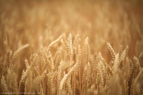 Lonesome Wheat