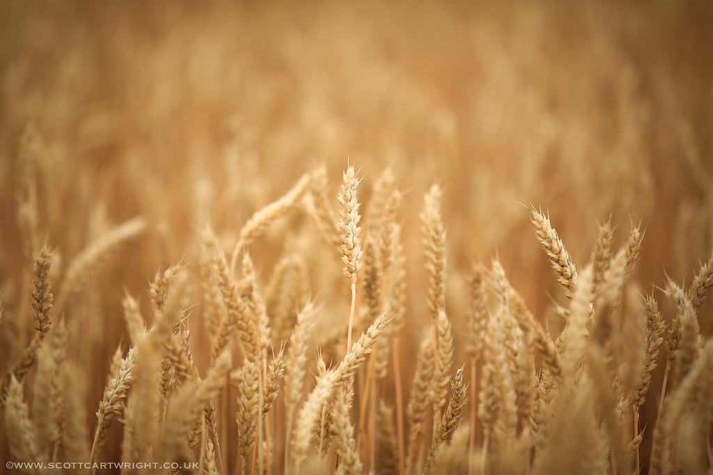 Lonesome Wheat