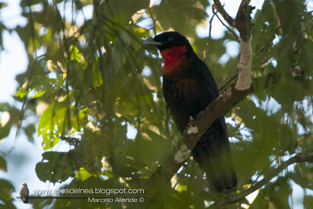 Yacutoro (Red-ruffed Fruitcrow) Pyroderus scutatus