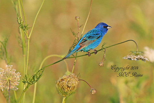 """new flowers blue sunset nature birds native wildlife wildflowers grassland preserve jersey"""" """" """"golden """"indigo """"queen """"magic bunting"""" anne's preserve"""" township"""" hour"""" lace"""" """"franklin """"negrinepote"""