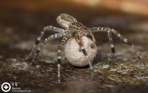 Dendrolycosa sp. ♀- Mangrove Swamp Dendrolycosa