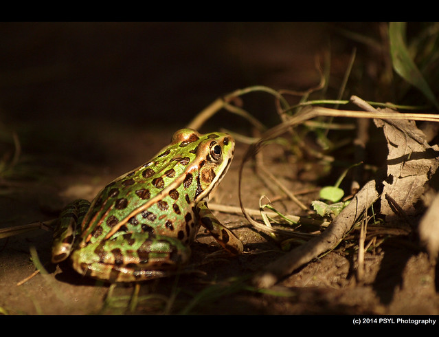 Leopard frog (Lithobates pipiens)