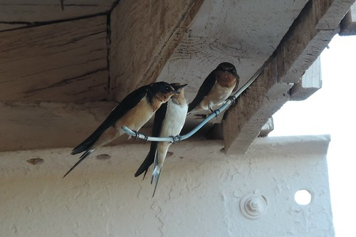#82 Cliff Swallows ( Petrochelidon pyrrhonota)