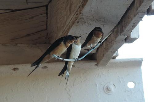 #82 Cliff Swallows ( Petrochelidon pyrrhonota)